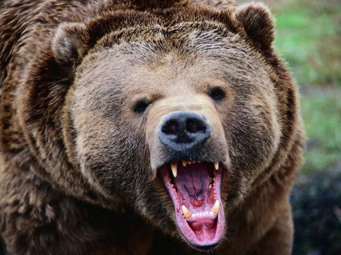 Медведь напал нагеолога вЯкутии, тело вплоть доэтого времени ненайдено