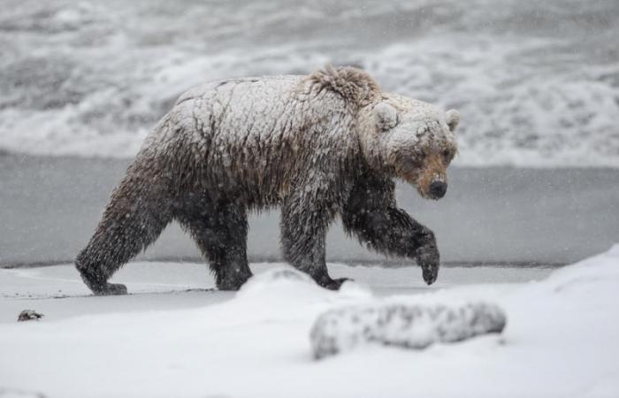 ВЯкутии убили медведя-шатуна