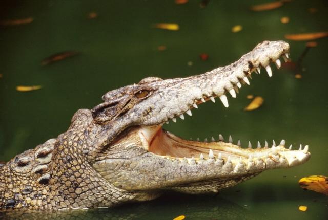 Три брата попытались изнасиловать крокодила ибыли съедены