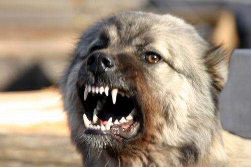 ВЯкутске отукуса бойцовской собаки умер младенец