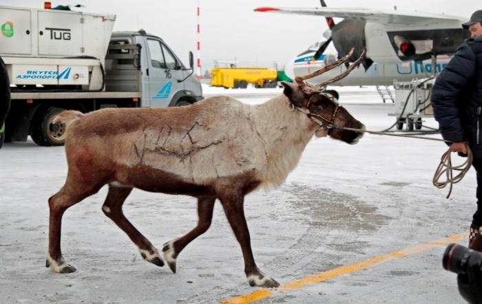 ВЯкутии участники съезда оленеводов насмерть закормили 2-х оленей
