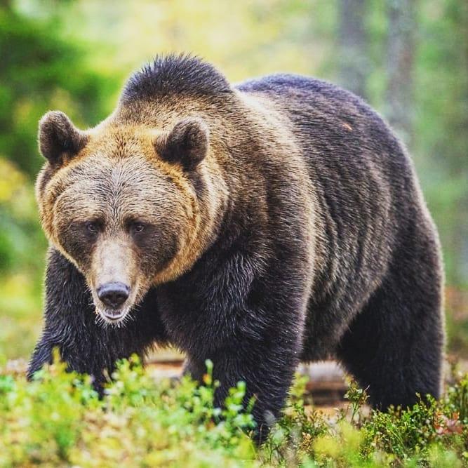 В Якутии 80-летний пенсионер сошёлся в рукопашную с медведем