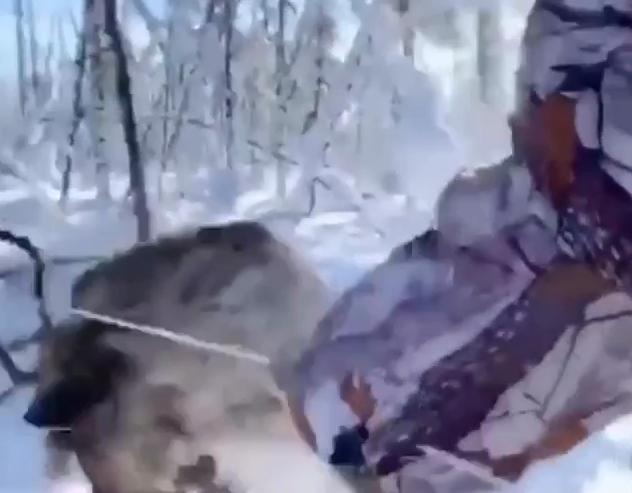 В Якутии охотники поймали оленя в петлю и забили палкой